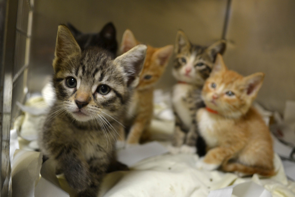 Kittens in need of foster homes 05072015 (4)