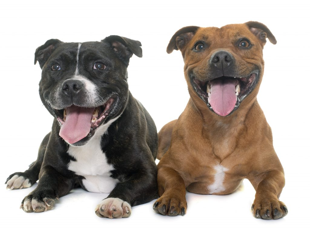 stafforshire bull terriers in front of white background